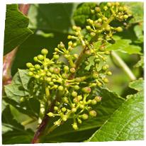 photo vignes printemps